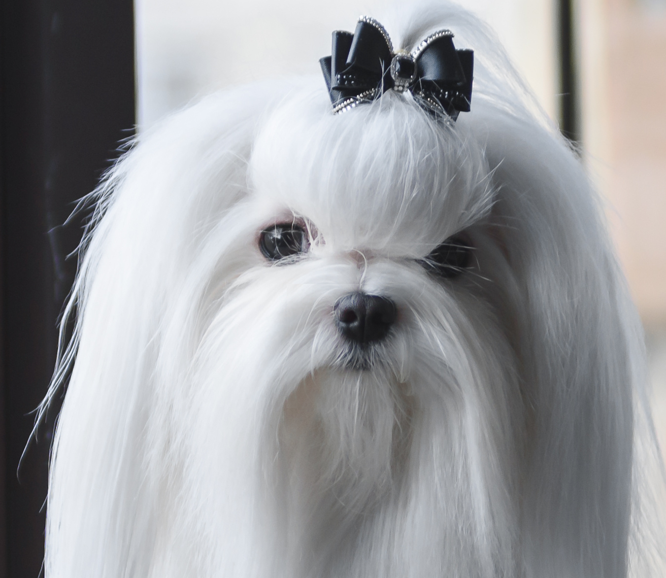 Mini Malteser Malteser Welpen Kaufen Malteser Hunde Zuechter Mini Zwerg Malteser Hund