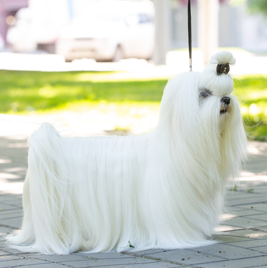 Malteserhundbursten Malteser Welpen Kaufen Malteser Hunde Zuechter Mini Zwerg Malteser Hund